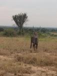 Some antelope