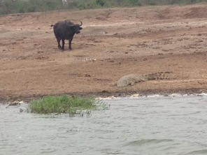 A Croc and Water Buffalo
