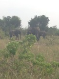 Elephants on the drive out of the lodge