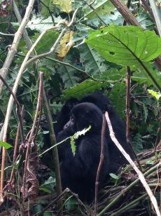 A young gorilla