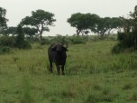 Water buffalo will pose for you