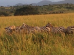 zebras in the golden hour