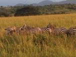 zebras in the golden hour