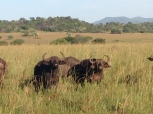 water buffalo like their pictures taken