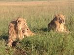 Lions lying around